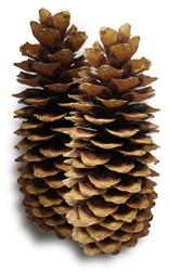 Sugar Pine Pinecone Small