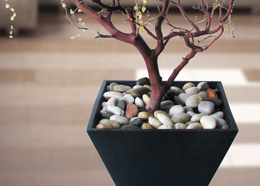 Manzanita Branches From Blooms And Branches 10 To 7 Ft